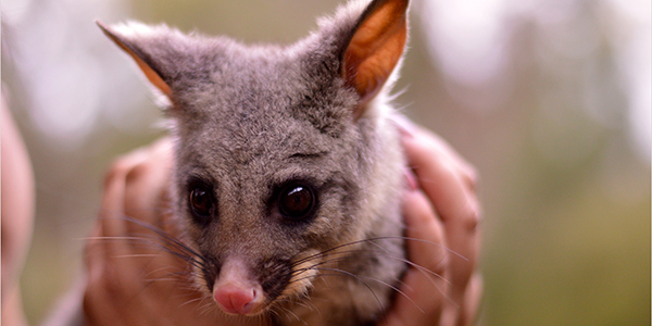 Image of Dobby the Brush Tail possum