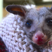 Robby the Brush Tail possum