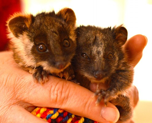 Image of two baby possums