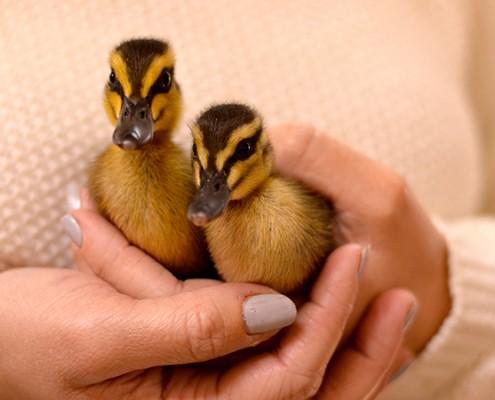 Image of wild ducklings in class