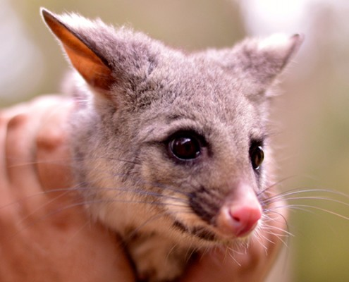 Image of Dobby the Brush Tail possum